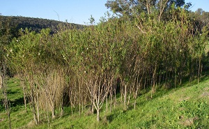 cottonbush_thickets