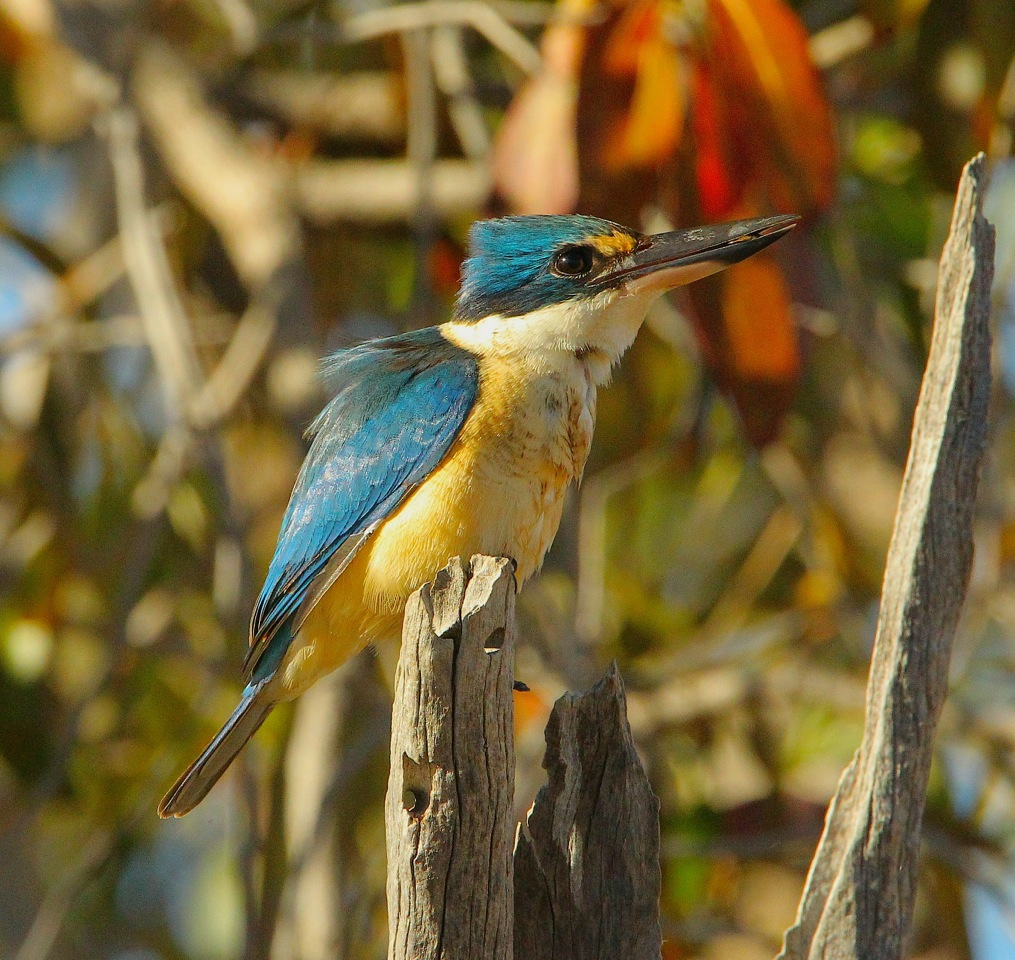 Kingfisher Sacre-Photo by M.Morcombe