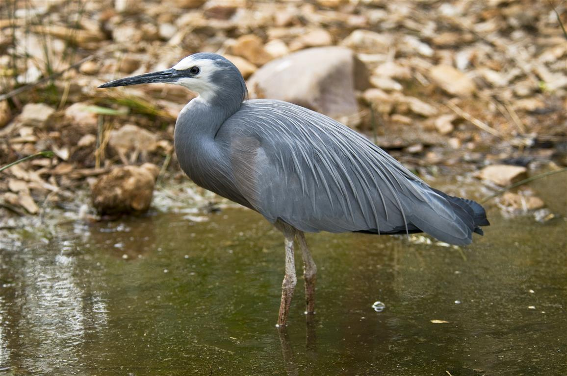 White-faced Heron LLH-731 CJiri Lochman Transparencies Medium